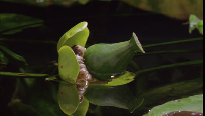 Close up British native waterlily seed pod -Nuphar lutea- floats on surface of pond before seed dispersal and eventually submerges
