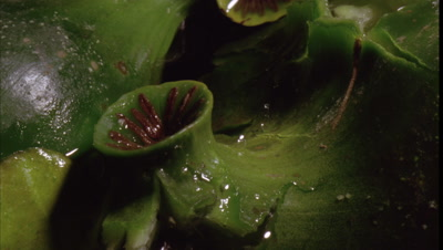 Big close up waterlily seed pods -Nuphar lutea- as burst to expel their gelatinous seeds