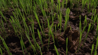 Close up track forwards over brown soil as -grass- shoots emerge and grow upwards