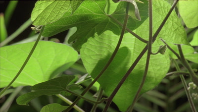 Close up underside of forest foliage with plants moving towards the light with green tropical foliage