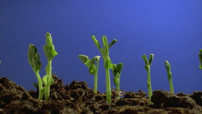 Close up soil at ground level as garden pea seedlings break surface and grow upwards against blue screen