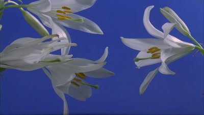 Close up 4 x Lilium Candidum buds dipping into either side of frame open to full flower against blue screen