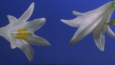 Close up 2 x Lilium Candidum buds, one at either side of frame open to full flower against blue screen