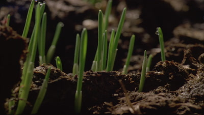 Big close up soil at ground level as -grass- shoots break surface and grow up out of frame