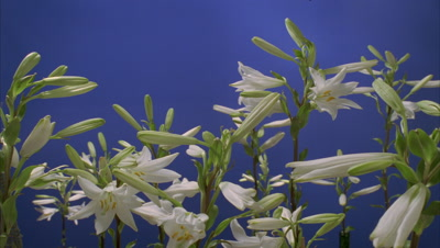 Mid shot multiple stems of Lilium Candidum buds opening to full flower against blue screen