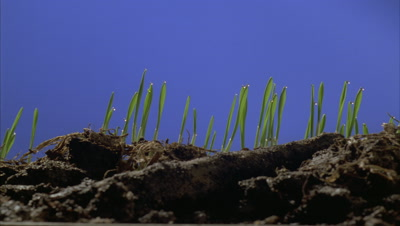 Close up low angle track along surface of soil as -grass- shoots break the surface and grow upwards against blue screen
