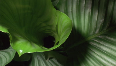 Close up leaves unfurling from centre of tropical glossy heart shaped leaf plant - Alocasia sp.