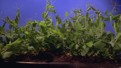 Close up pan along row of garden pea vines -Pisum sativum- tangled together and growing upwards against bluescreen