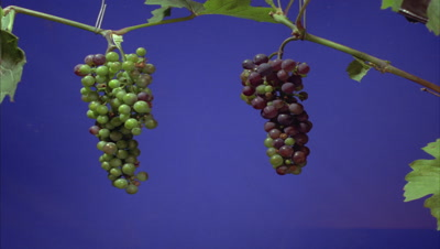 Close up two bunches of green grapes slowly ripen to black against blue screen
