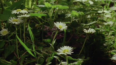 Close up daisies open and close and petty spurge and grasses wave about in sunlight - common garden weeds