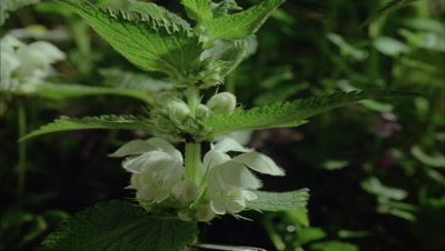 Close up flowers of White Deadnettle - Lamium album L. - static then does ramped spin to change from dark to light
