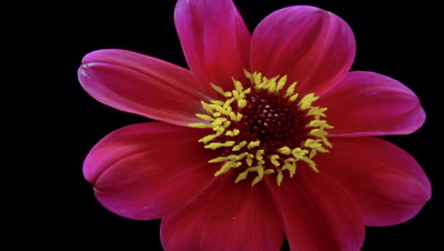 Close up red-pink dahlia -Bishop of Llandaff- bud opens to camera and lifts flower head upwards against black background