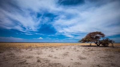 Central Kalahari, Lone Acacia Tree, Mid-day