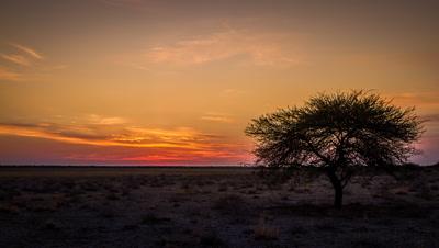 Central Kalahari, Lone Acacia Tree, Sunrise