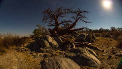 Moonset, fallen baobab