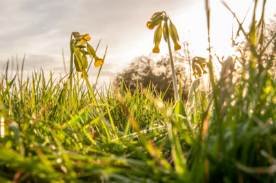 Cowslip,Primula veris in English meadow at sunset
