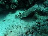 Ray, Possibly Marbled Torpedo Ray, Swims Over Reef