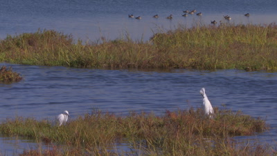 Snowy egret standing-wading-hunting on windy wetland