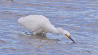 Snowy egret spearing-hunting fish on windy wetland