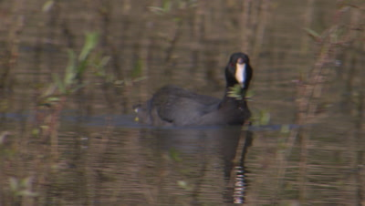 American coot standing-foraging-wading on shallow wetland