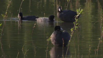 American coot standing-preening on shallow wetland