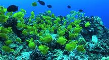Yellow Tangs Feed With Convict Surgeonfish In A Mixed School