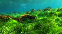 Seagrass Swaying In Waves With Kelp Fish
