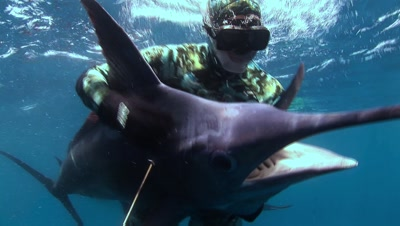 Blue Marlin With Spear Diver At Surface
