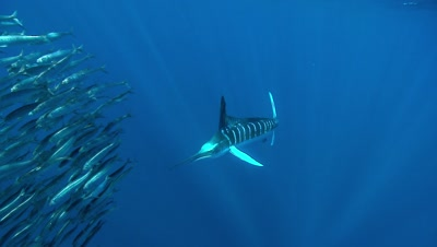Solitary Marlin Herds Sardine Baitball At Surface