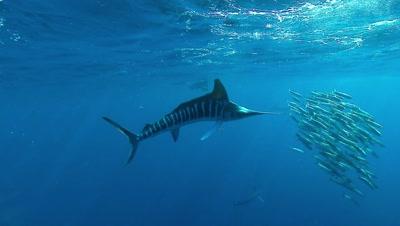 Single Marlin Chases Sardine Baitball, Sea Lion Chases Away Marlin