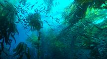 Mackerel Schooling In Giant Kelp View From Below