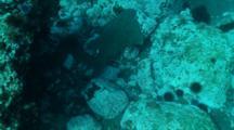 Angel Shark Swims Over Rocks