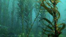 Leopard Sharks In Kelp