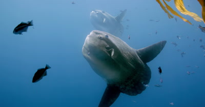 two Mola mola under kelp paddy