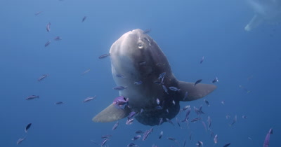 mola mola being cleaned under kelp paddy