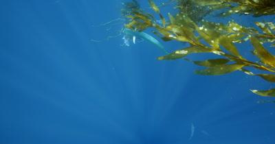 Dorado under California Kelp Paddy