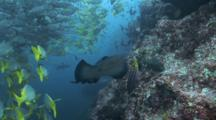 Marble Ray along wall and schools of fish