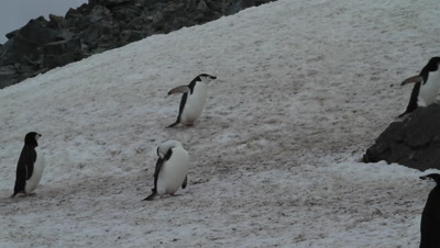Chinstrap penguins on snow field