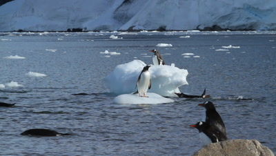 Gentoo penguins playful with ice floes
