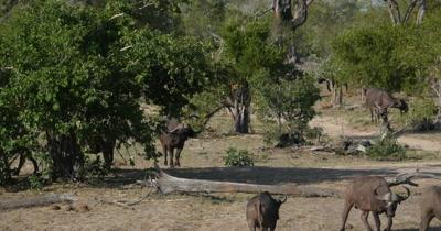4K - Water Buffalo at Water Hole Drinking