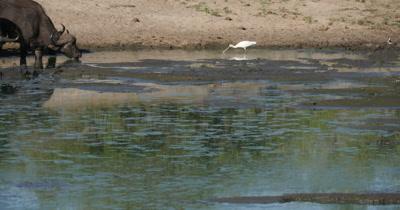 4K - Spoonbill Feeding on Frogs, Water Buffalo Drinking
