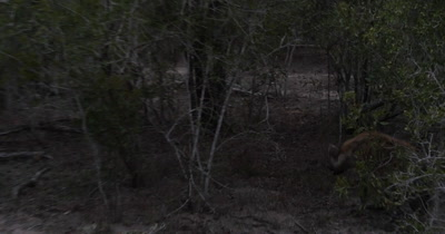 4K - Hyena following, Leopard runs up Tree with Rabbit Kill