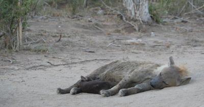 4K - Hyena Mother Grooming and Nursing Newborn