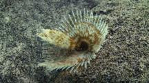 Giant Feather Duster Worm On Coral Reef.