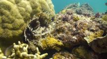 Giant Feather Duster Worm Quickly Retracts Into A Small Hole In The Coral Reef.