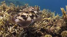 Broadclub Cuttlefish Hovering Above A Coral Reef.