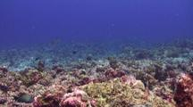 A School Of Golden Travally, White Tip Reef Sharks And Grey Reef Sharks Hunting Scad Above A Tropical Coral Reef.