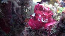 Close Up Of A Purple Leaf Scorpion Fish Sitting On A Tropical Coral Reef.