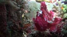 Close Up Of A Purple Leaf Scorpion Fish With A Second White Leaf Scorpion Fish In The Background Partly Camouflaged Against A Tropical Coral Reef.