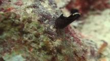 Close Up Of Headshield Slug/Sea Slug Called Chelidonura Inornata